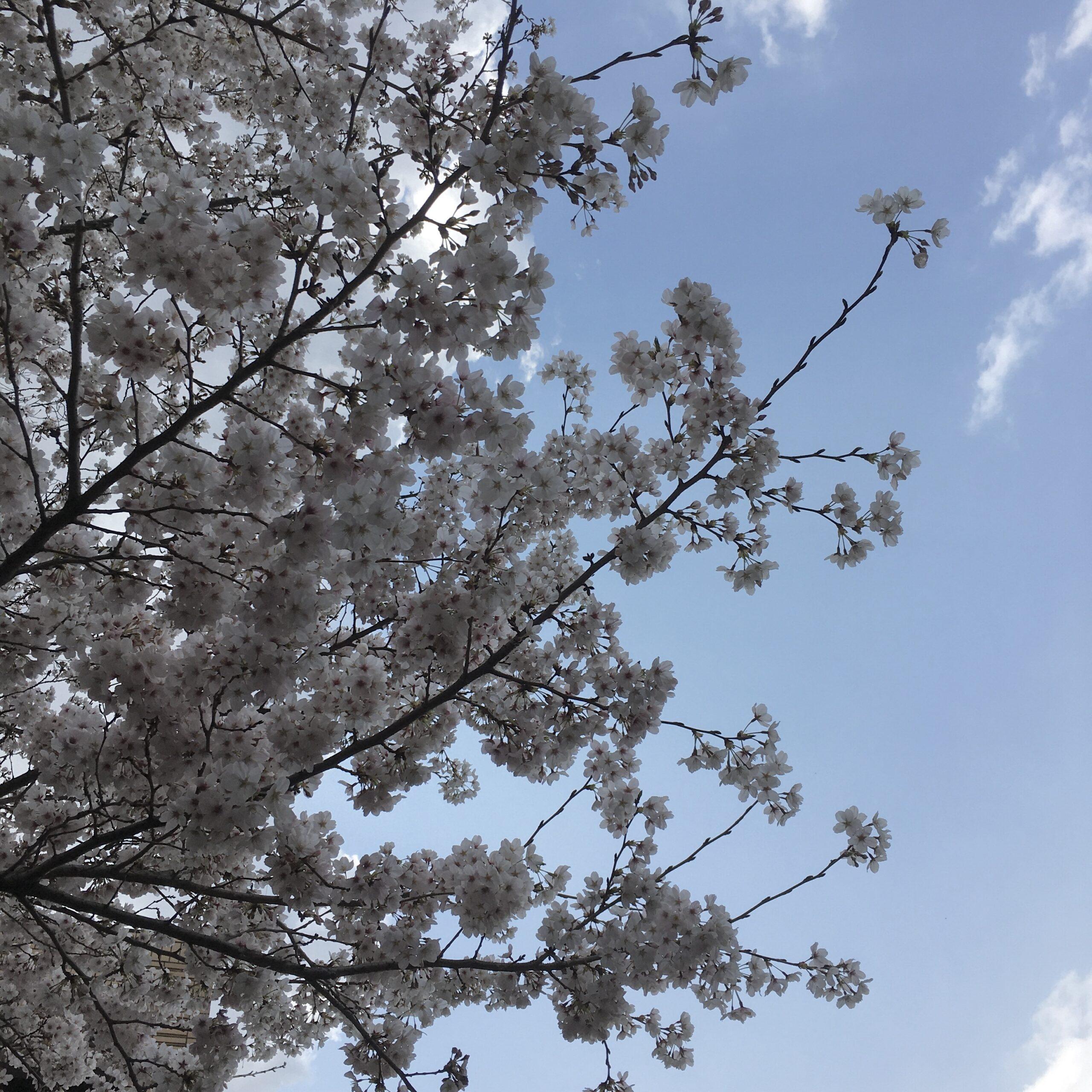 桜が咲いたら
